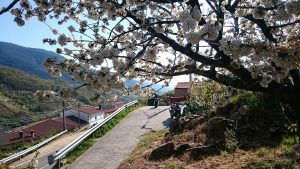 Floración de los cerezos.