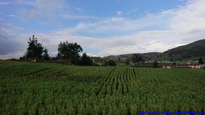 Cultivos de habas, cerca de Caja Bamba y Colta