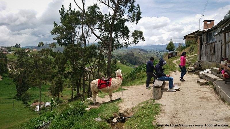 Alpaca, cerca de Ingapirca, en el camino del Inca.