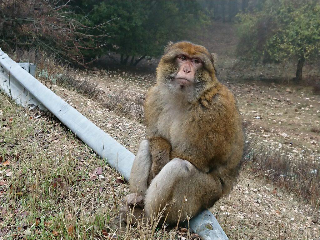 Monos en el Atlas