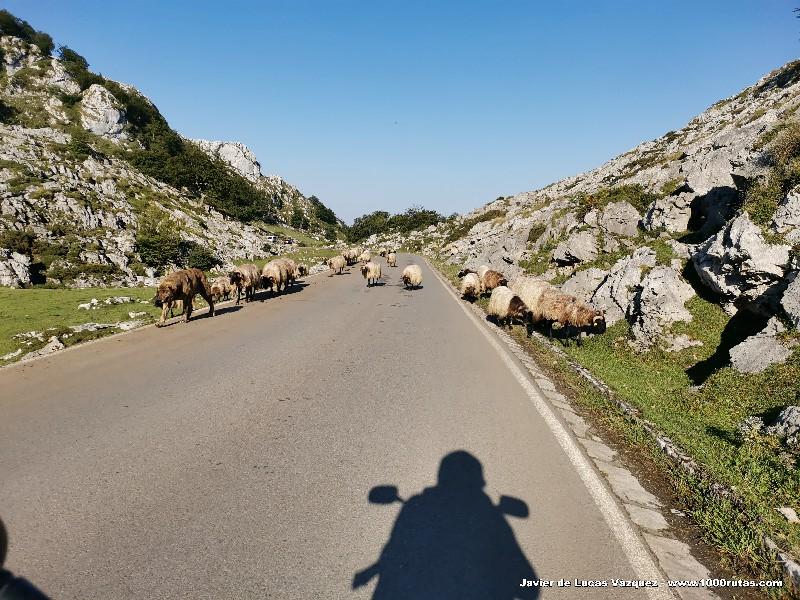 Ovejas en Covadonga